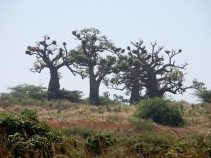 arbres du sénégal